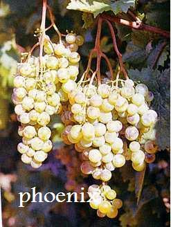 Plants de vigne raisin de table bricolage jardinage maison ancey 21410 annonce gratuite - Planter vigne raisin de table ...