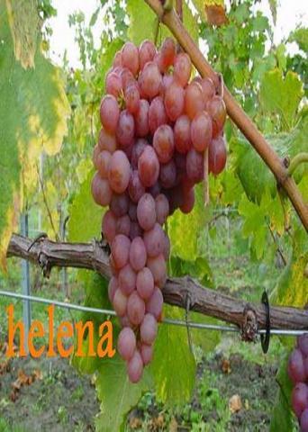 Plants de vigne raisin de table bricolage jardinage - Taille vigne raisin de table ...
