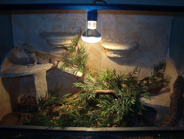 Magnifique couple de pogona adulte et reproducteur terra animaux loisirs belgique 98 - Decor fond terrarium desertique ...